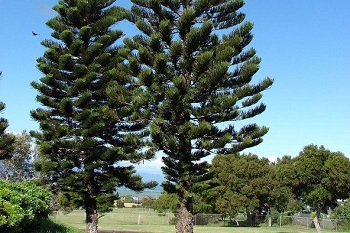 Working out Monkey Puzzle